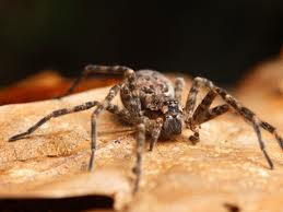 araignées-australie