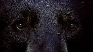 ours noir randonnee