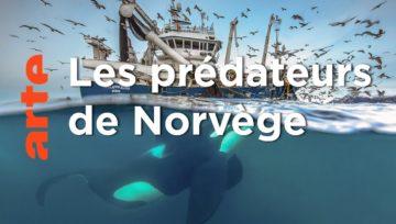 Les orques de Norvège - reportage